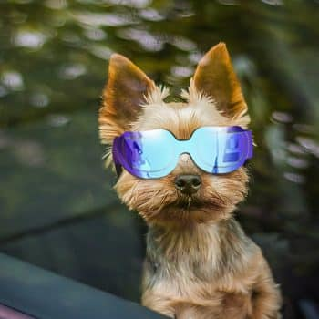 Enjoying Small Dog Sunglasses